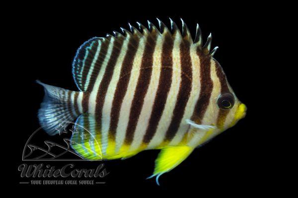 Paracentropyge multifasciata - Zebra-Zwergkaiserfisch
