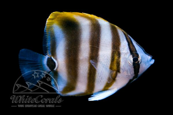 Parachaetodon ocellatus - Sixspine Butterflyfish