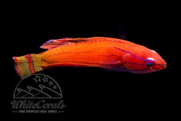 Paracheilinus mccoskeri - McCoskers Zwerglippfisch