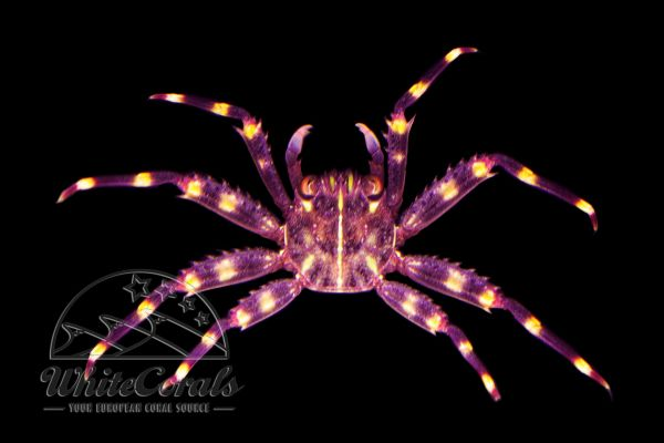 Percnon sp. - Sally Lightfoot Crab