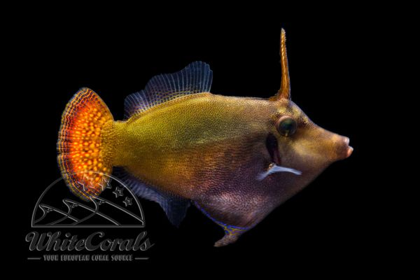 Pervagor janthinosoma - Blackbar Filefish