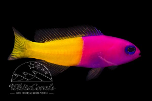 Pictichromis paccagnellae - Royal dottyback