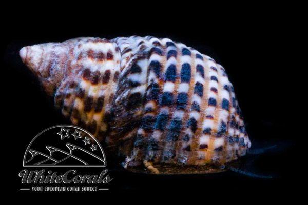 Planaxis scutellatus - Algae Snail