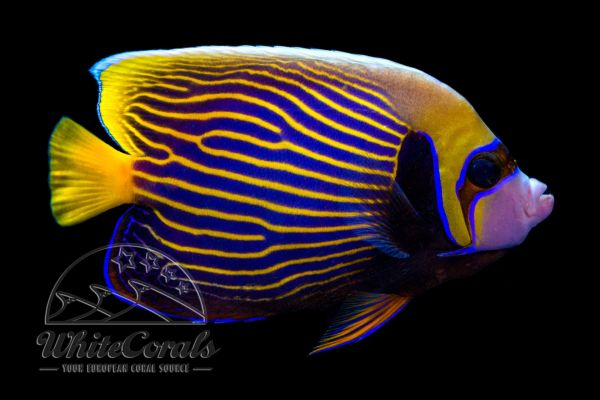 Pomacanthus imperator - Emperor angelfish (Adult)