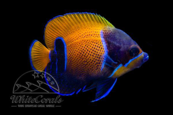 Pomacanthus navarchus - Majestic Angelfish (Adult)