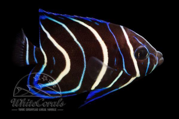 Pomacanthus semicirculatus - Semicircle angelfish (juv.)