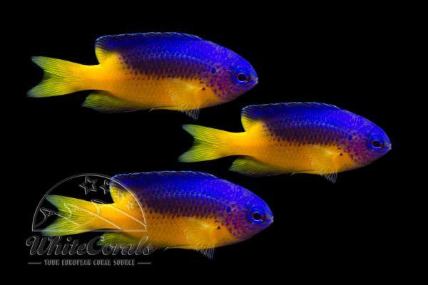Pomacentrus auriventris - Goldbauch Demoiselle (3er Pack)