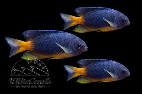 Pomacentrus caeruleopunctatus - Damsel (3-pack)
