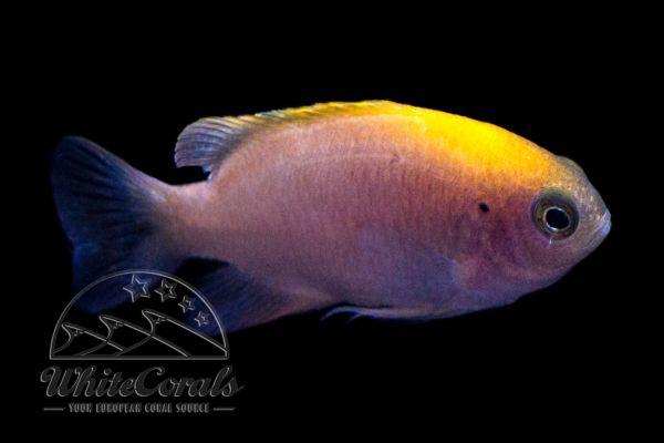 Pomacentrus smithi - Smiths Riffbarsch