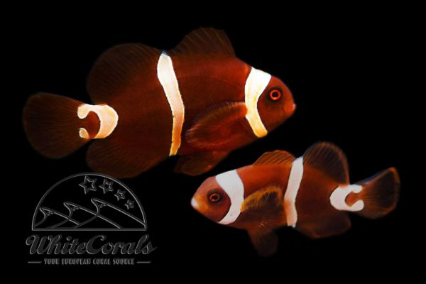 Premnas biaculeatus - Maroon Goldflake Clownfisch Paar