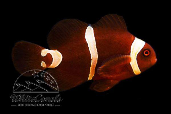 Premnas biaculeatus - Maroon Goldflake Clownfish
