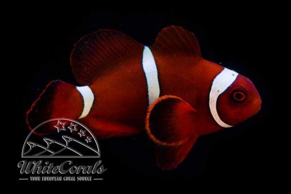 Premnas biaculeatus - Samt-Anemonenfisch