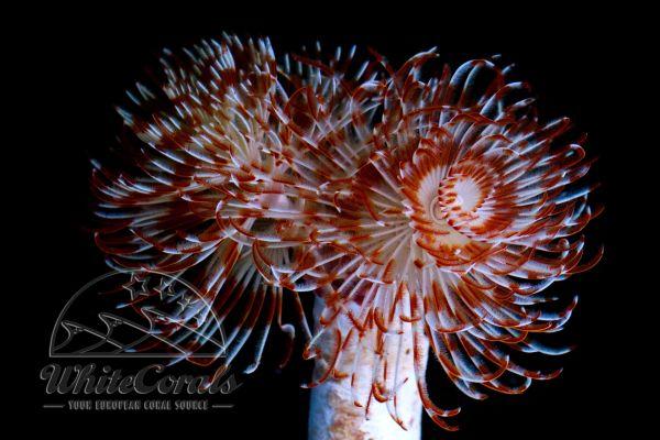 Protula bispiralis - Prachtkalröhrenwurm