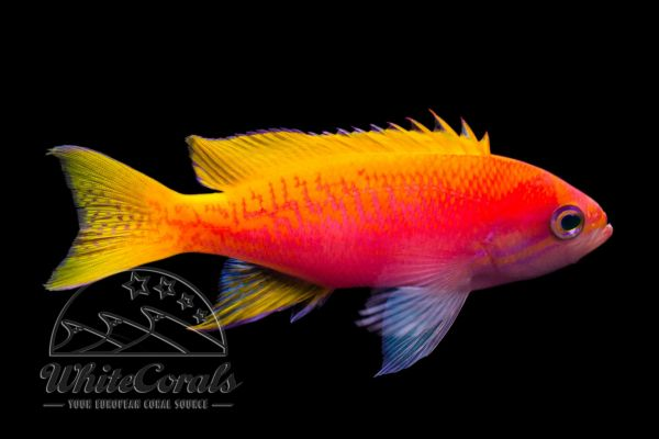 Pseudanthias bimaculatus - Scribble Anthias - Rare! (female)