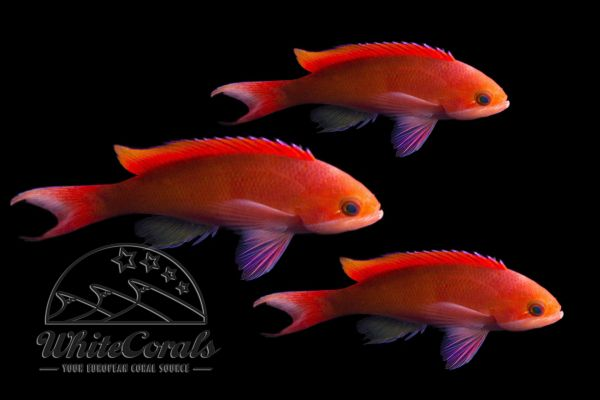 Pseudanthias cooperi - Red-bar anthias (3-pack)