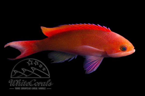 Pseudanthias cooperi - Red-bar anthias