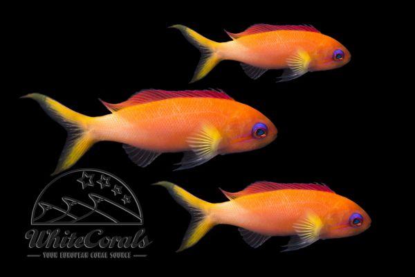 Pseudanthias dispar - Peach fairy basslet (3-pack)
