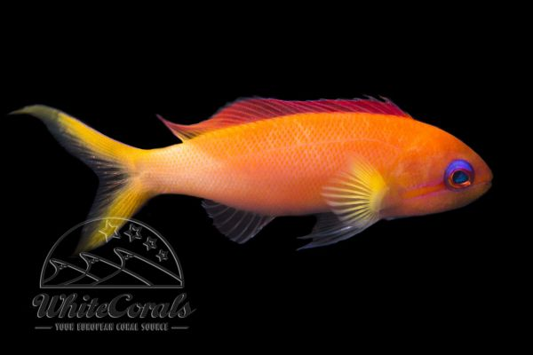 Pseudanthias dispar - Peach fairy basslet