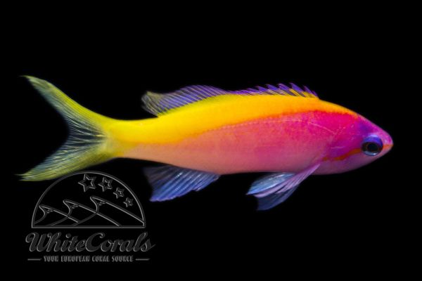 Pseudanthias evansi - Yellowback anthias