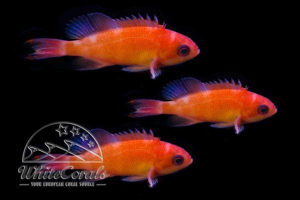 Pseudanthias hypselosoma - Stocky anthias (3-pack)