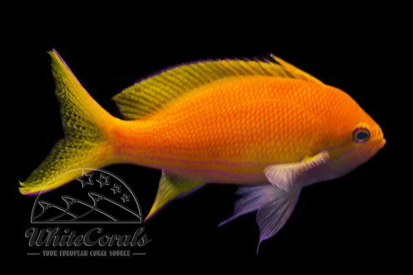 Pseudanthias pleurotaenia - Square-spot fairy basslet