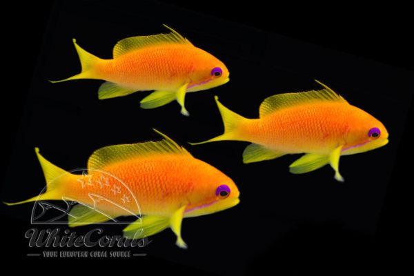 Pseudanthias squamipinnis - Lyretail Anthias - pack of 3