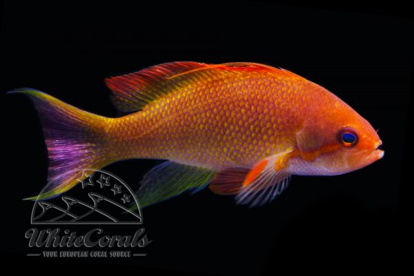 Pseudanthias squamipinnis - Lyretail Anthias (Male)