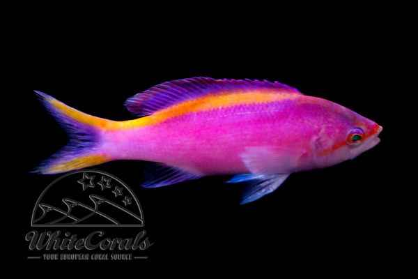 Pseudanthias tuka - Yellowstriped fairy basslet- female