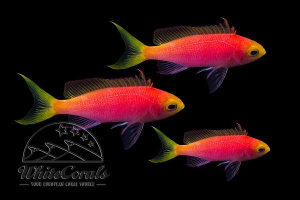Pseudanthias pulcherrimus - Resplendent goldie (female) 3-pack