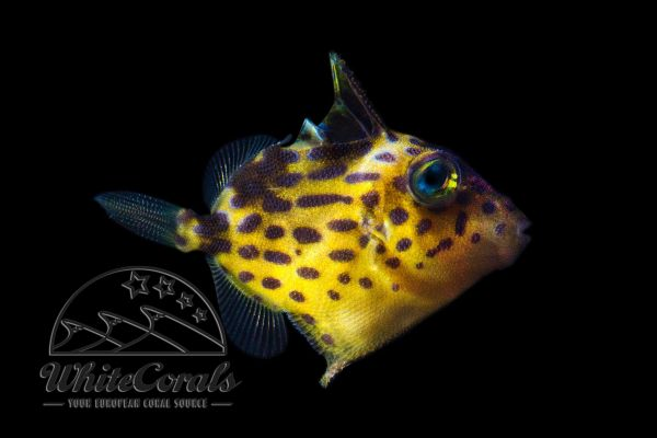 Pseudobalistes fuscus - Rippled Triggerfish