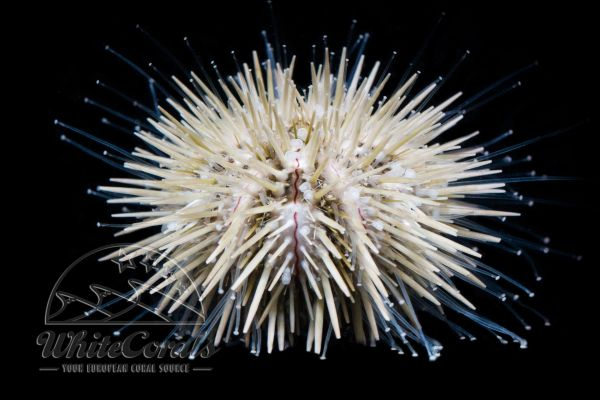 Pseudoboletia indiana - Indian Sea Urchin