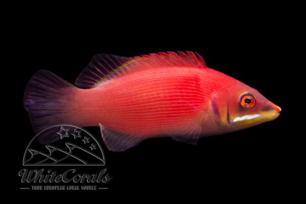 Buy Wrasses Now Online Marine Aquarium Shop Whitecoralscom