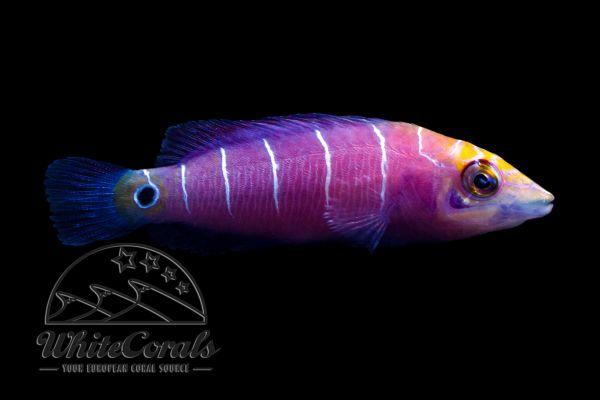 Pseudocheilinus ocellatus - Geringelter Zwerglippfisch