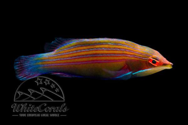 Pseudocheilinus tetrataenia - Vierstreifen-Lippfisch