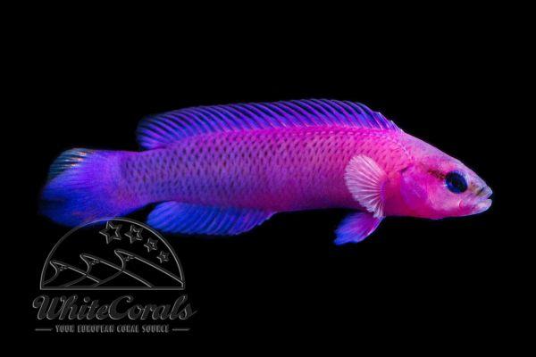 Pseudochromis fridmani - König Salomon Zwergbarsch (Nachzucht)