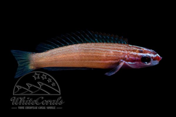 Pseudocoris yamashiroi - Redspot Wrasse
