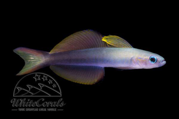 Ptereleotris evides - Blackfin dartfish