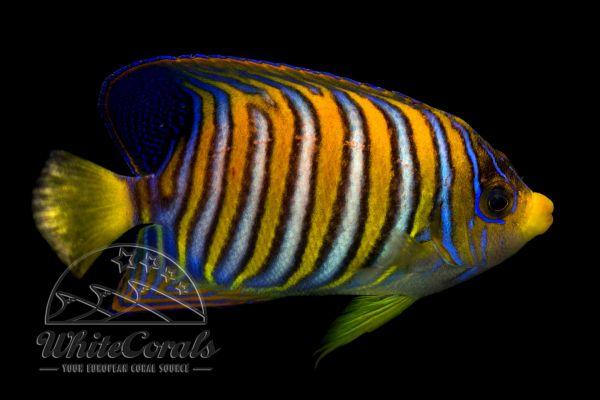 Pygoplites diacanthus - Pfauenkaiserfisch
