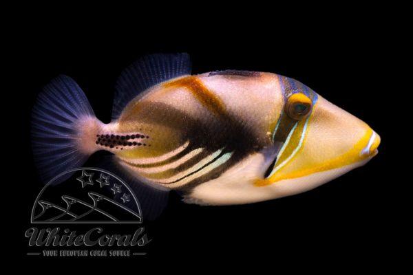 Rhinecanthus aculeatus - Blackbar triggerfish
