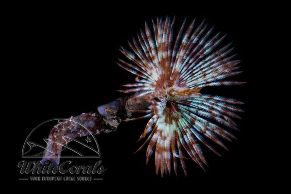 Sabellastarte sp. - Feather Duster Tubeworm (various)
