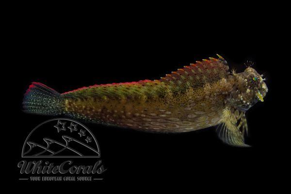Salarias fasciatus - Sailfin Blenny