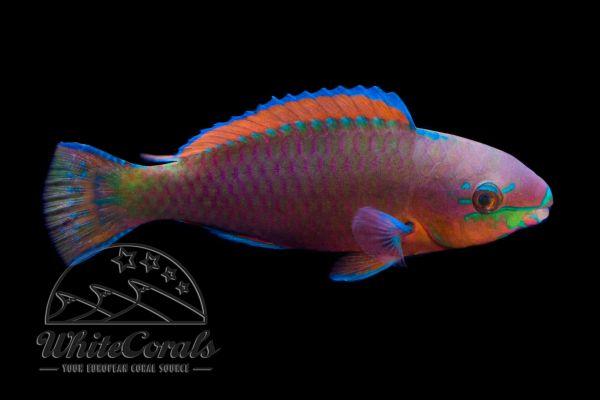 Scarus quoyi - Parrotfish
