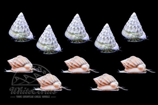 Snail Combo - Tectus and Nassarius