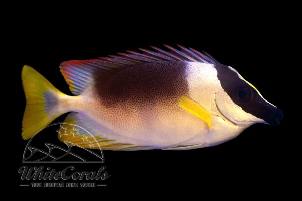 Siganus magnificus - Magnificent rabbitfish