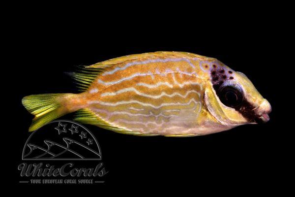 Siganus puellus - Masken-Kaninchenfisch