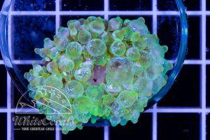 Entacmaea quadricolor Green Blizzard