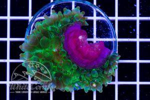 Entacmea quadricolor Green
