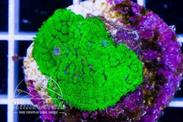 Rhodactis Green Velvet