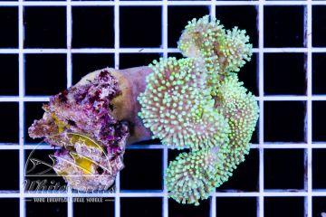 Sarcophyton sp. Aussie GreenPolyp