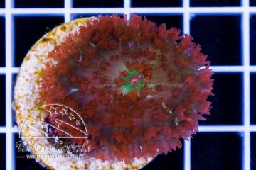 Rhodactis osculifera Bubble Mushroom